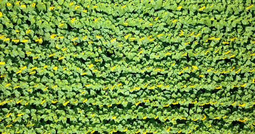 Aerial Drone View Of Sunflower Field Ready To Be Harvested Footage
