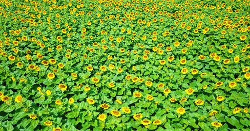 Aerial Drone View Of Sunflower Field Ready To Be Harvested Image