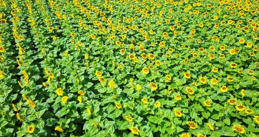 Aerial Drone View Of Sunflower Field Ready To Be Harvested ビデオ