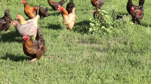 Domestic Chicken In The Meadow Footage