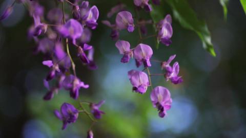 Small purple flower, Wisteria floribunda Footage