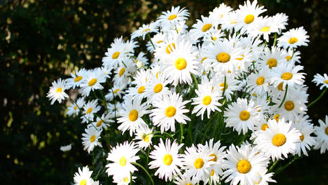 Daisies in wind Image