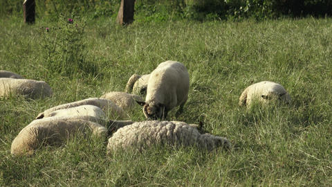 Sheep resting on green grass in spring. Sheep lying on the meadow and resting Live Action