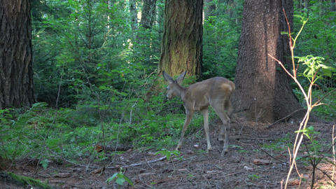 Startled young mule deer running off in a woodland clearing Footage