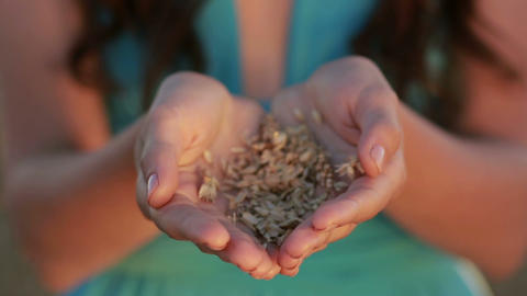 Woman hands holding ears and grains of wheat Footage