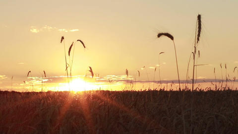 Colorful sunset over golden wheat field in summer Footage