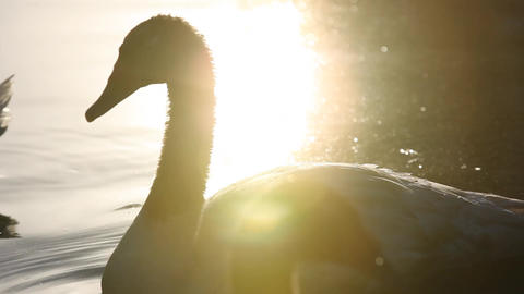 Swan swimming Footage