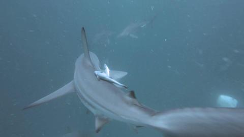Black tip Sharks swimming around bait Image