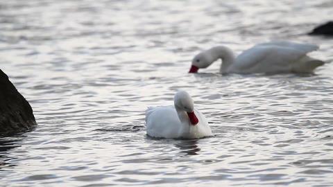 Geese in water Footage