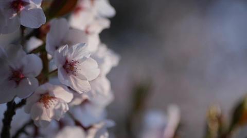 Cherry Blossoms, Sunrise Footage