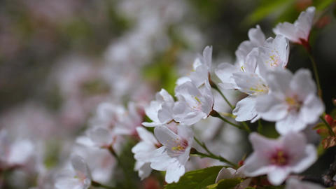 Cherry Blossoms, Cerasus jamasakura, sunny day Footage