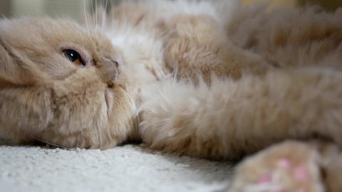 Motion of persian cat funny face on floor with 4k resolution Footage