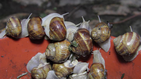 A herd of snails climbing a red wall in an attempt to escape from the trap 6 Live Action