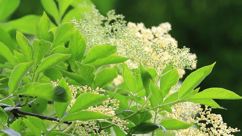 Elderflower is last flowers of spring are the most intense healing properties. R Footage