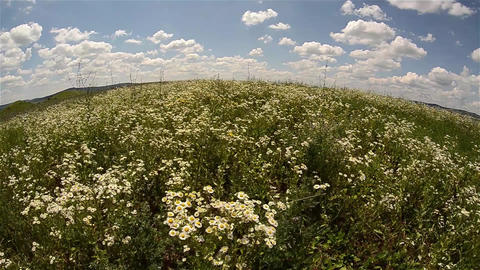 Field of white flowers - daisies field, waving in the wind of summer under a blu Footage