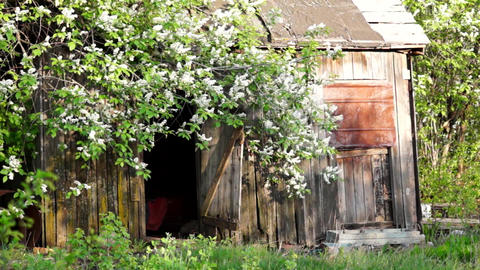 Flowering Birdncherry Tree, Old Barn stock footage