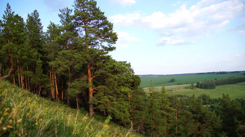 Pine Trees On The Slope Of A Hill stock footage