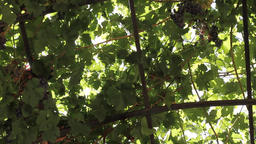 Grapes on vines Footage