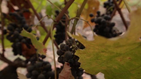 Vineyard extreme close-up Footage