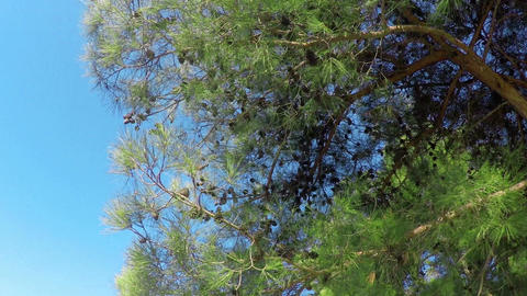 Bottom view to pine trees with cones Live Action
