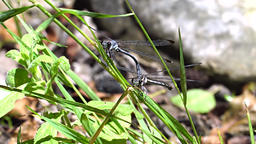 Two connected dragonflies seems talking Footage