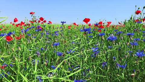 Field of red poppies and blue cornflowers Footage