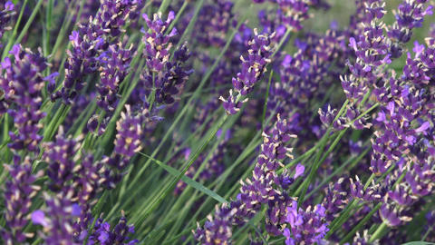Lavender flower on the field. Beautiful lavender flowers shrub in garden close u Footage