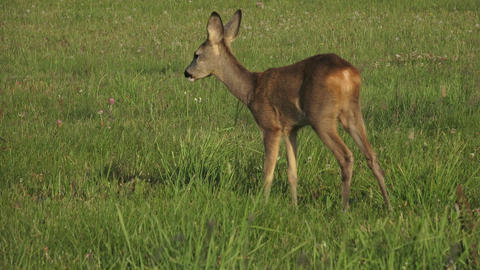Young wild roe deer in grass, Capreolus capreolus Footage