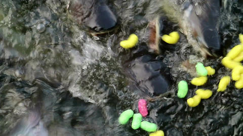 Feeding aggressive shark catfish Filmmaterial
