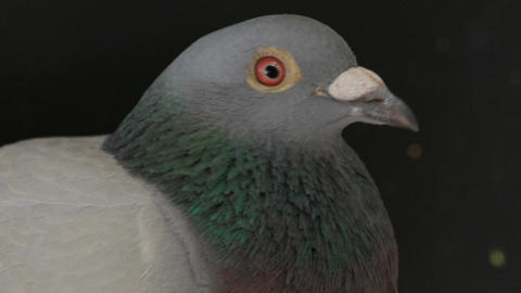 close up bill and face of male pigeon bird on black ビデオ