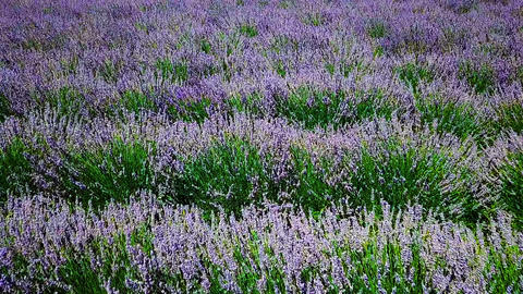Aerial Drone Slow Motion View Of Lavender Flowers Field Archivo
