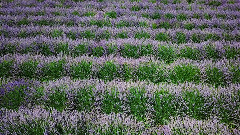 Aerial Drone Slow Motion View Of Lavender Flowers Field Filmmaterial