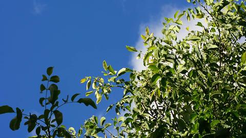 Treetop in wind Footage