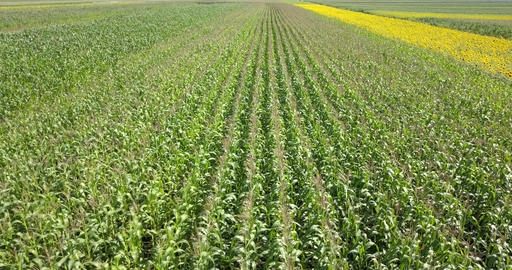 Aerial Drone View Of Corn Field Ready To Be Harvested Footage