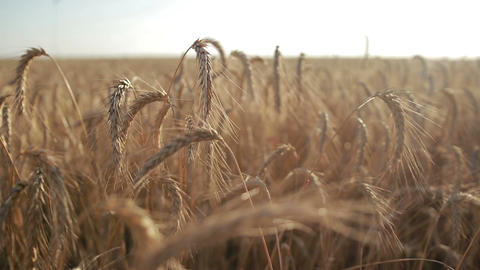 Golden wheat field on sunny day Footage