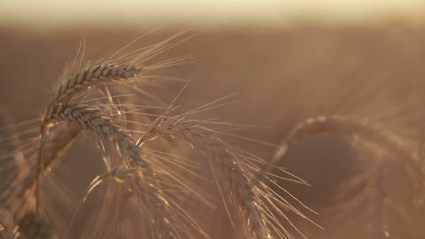 Ripened spikes of golden wheat in sunset light Footage