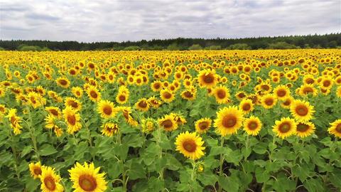 Sunflowers under a cloudy sky 画像