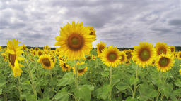 Sunflowers under a cloudy sky 画像