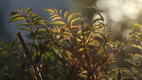 Bush in the garden thick wooden branches with long leaves Sun its rays can see t Footage