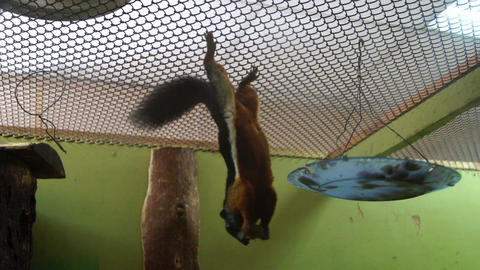 Squirrel hanging upside down and eats Stock Video Footage