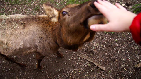 Deer sniffing hand Footage