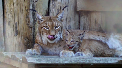 Lynx with cub Footage