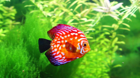 Sea Aquarium, discus Footage