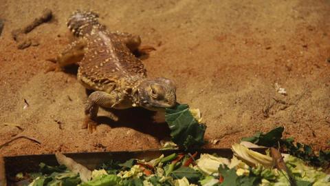 Lizard eating greens Footage