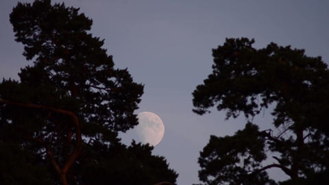 Full Moon among tall trees 1 Footage