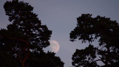 Full Moon among tall trees 1 Footage
