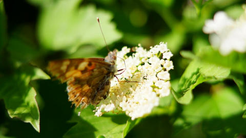 Butterfly, flowering Bush Footage