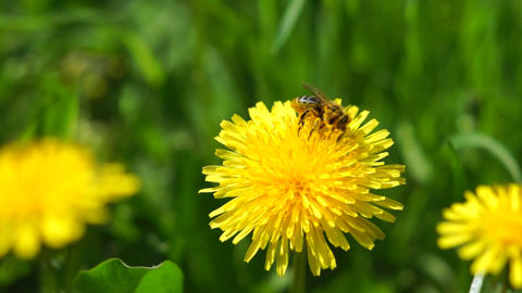 Bee on a dandelion Live Action