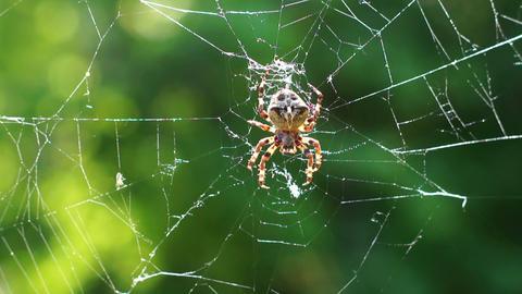 Big spider on a spiderweb Footage