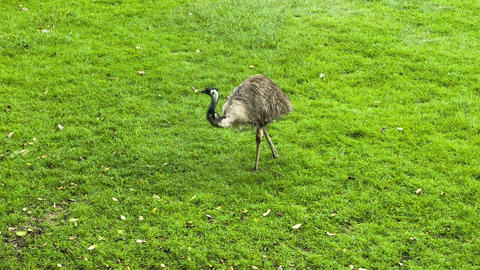 Ostrich on the grass Footage
